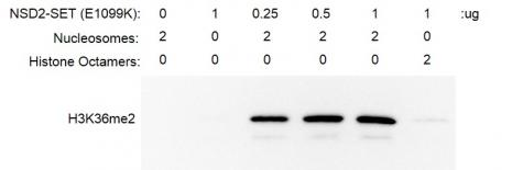 Recombinant NSD2-SET (E1099K) activity assay.