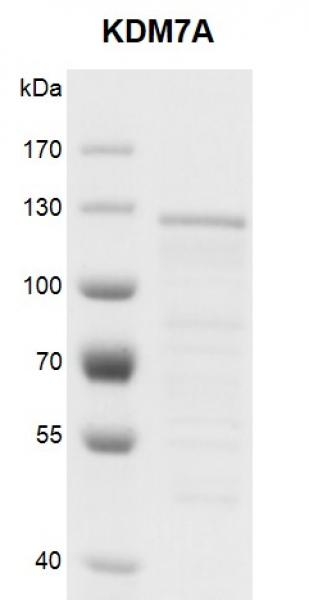 <b>Recombinant KDM7A protein gel.</b>