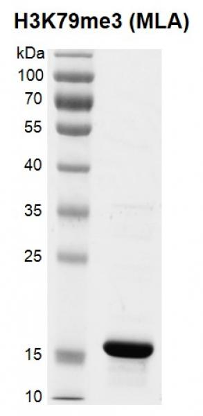 Recombinant Histone H3K79me3 (MLA) gel.
