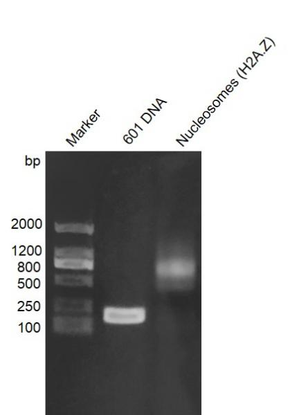 Recombinant Mononucleosomes (H2A.Z) - biotinylated, DNA gel.