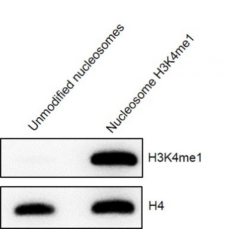 Western Blot analysis for Recombinant Mononucleosomes H3K4me1 (EPL) - biotinylated.
