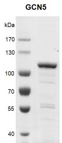 Recombinant KAT2A (GCN5) protein, SDS-PAGE gel.