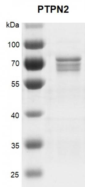 Recombinant PTPN2 protein gel.