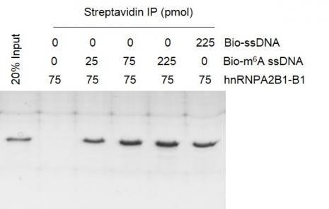 Recombinant hnRNPA2B1-B1 protein activity assay.