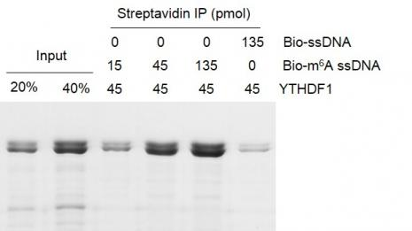 Binding Assay for Recombinant YTHDF1 protein.