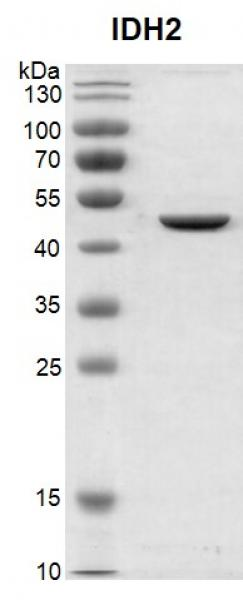 Recombinant IDH2 protein, SDS-PAGE gel.