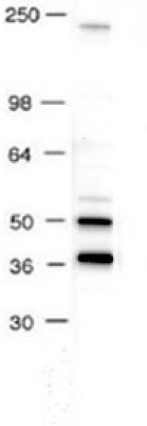 AP-2 antibody (pAb) tested by Western blot.