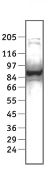 STAT1α antibody (pAb) tested by Western blot.
