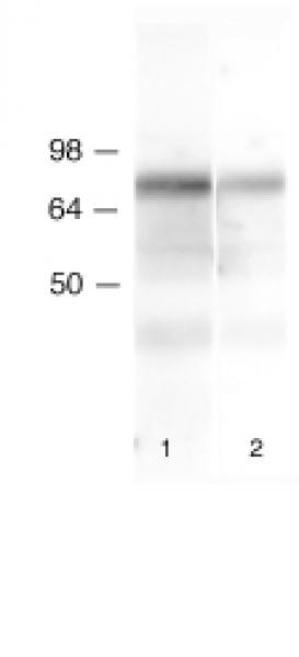 Lamin B1 antibody (pAb) tested by Western blot.