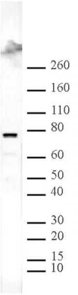 ASH2L antibody (pAb) tested by Western blot.