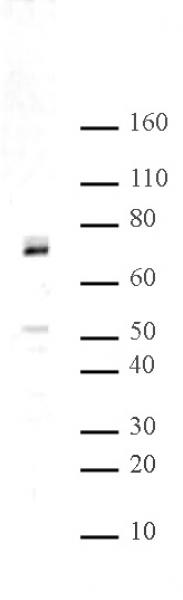 Hbo1 antibody (pAb) tested by Western blot.