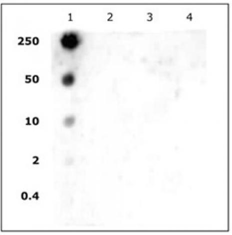 Histone H2AK5ac antibody (pAb) tested by dot blot analysis.