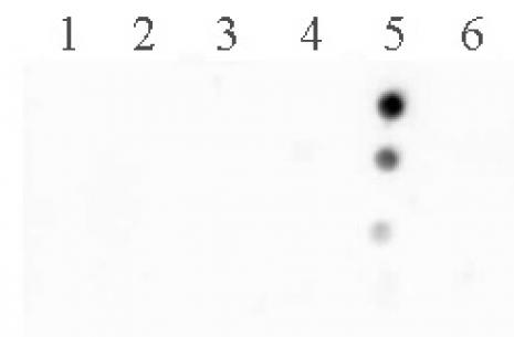 Histone H2BK120ac antibody (pAb) tested by dot blot analysis.