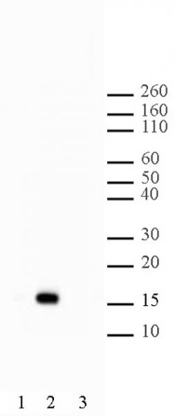Histone H2BK5ac antibody (pAb) tested by Western blot.