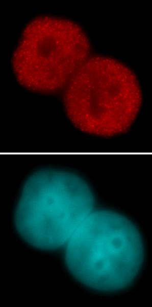 Histone H3K23ac antibody (pAb) tested by immunofluorescence.