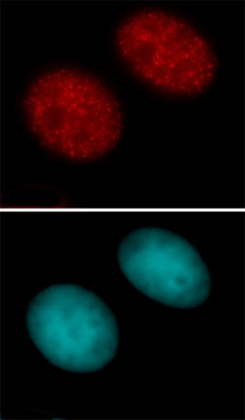 Histone H3K27ac antibody (pAb) tested by immunofluorescence.