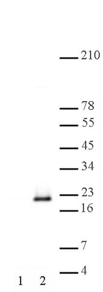Histone H3S10phS28ph antibody (pAb) tested by Western blot.