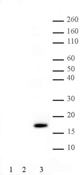 Histone H3T11ph antibody (pAb) tested by Western blot.