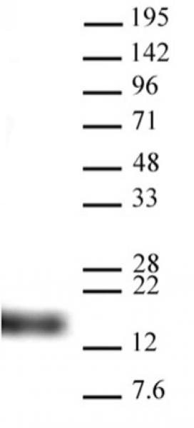 Histone H3K9me3 antibody (pAb) tested by Western blot.