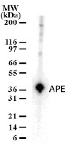 APE antibody (pAb) tested by Western blot.