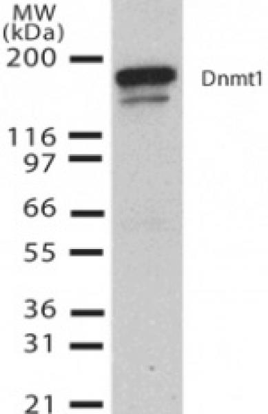 DNMT1 antibody (mAb) tested by Western blot.