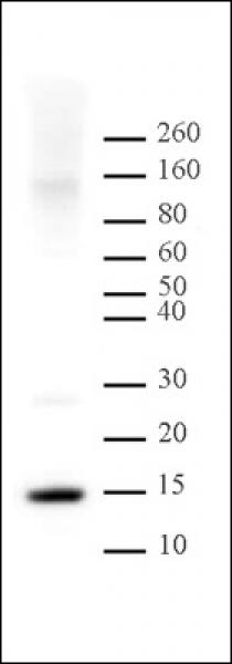 Histone H2A antibody (pAb) tested by Western blot.