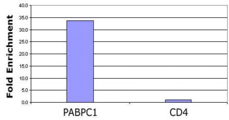 Histone H3K56ac antibody (pAb) tested by ChIP.