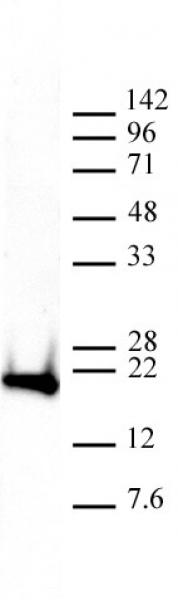 Histone H3K9me3 antibody (mAb) tested by Western blot.