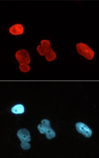 Lamin A/C antibody (mAb) tested by immunofluorescence.