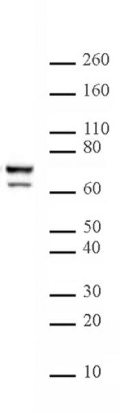 Lamin A/C antibody (mAb) tested by Western blot.
