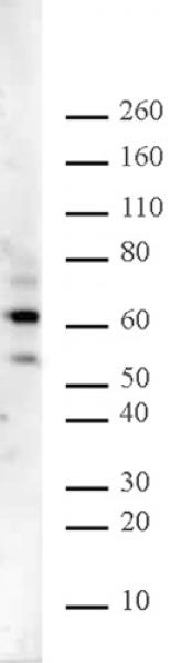 Ikaros antibody (pAb) tested by Western blot.