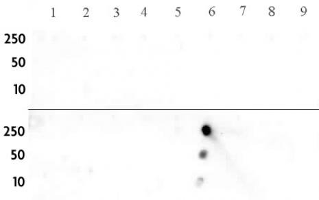 Histone H3K14me2 antibody (pAb) tested by dot blot analysis.