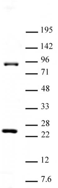 Suz12 antibody (pAb) tested by Western blot.