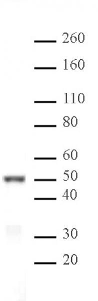 IRF-3 antibody (pAb) tested by Western blot.