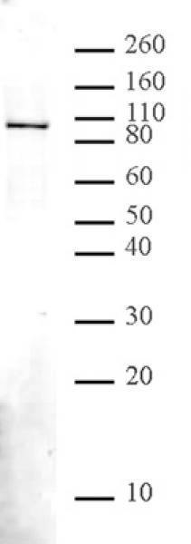NBS1 antibody (pAb) tested by Western blot.