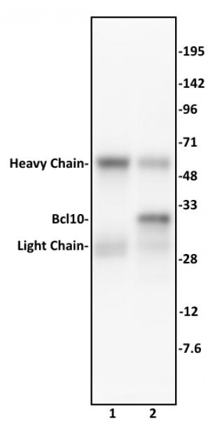 Bcl10 antibody (mAb) tested by immunoprecipitation.