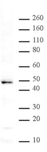 MBD2 antibody (pAb) tested by Western blot.