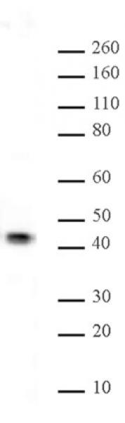 JunB antibody (pAb) tested by Western blot.