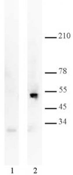 p53 antibody (mAb) tested by Western blot.