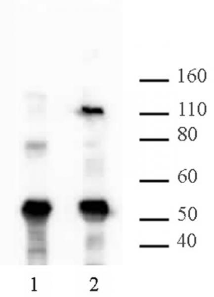 HIRA antibody (mAb) tested by Western blot.