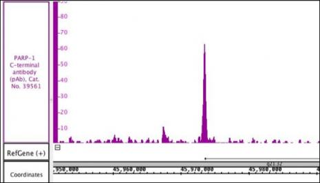 PARP-1 C-terminal antibody (pAb) tested by ChIP.