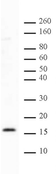 Histone H2BK46me2 antibody (pAb) tested by Western blot.