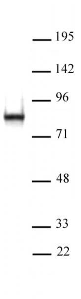 L3MBTL2 antibody (pAb) tested by Western blot.