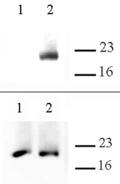 Histone H3.cs1 antibody (pAb) tested by Western blot.