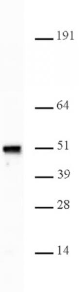 Nap1 antibody (pAb) tested by Western blot.