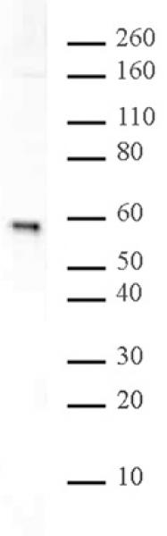 Rsf1 antibody (pAb) tested by Western blot.