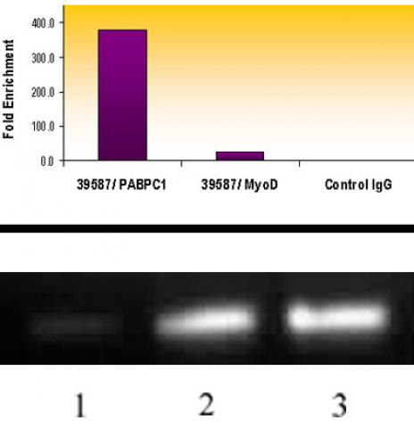 Histone H3K18ac antibody (pAb) tested by ChIP.