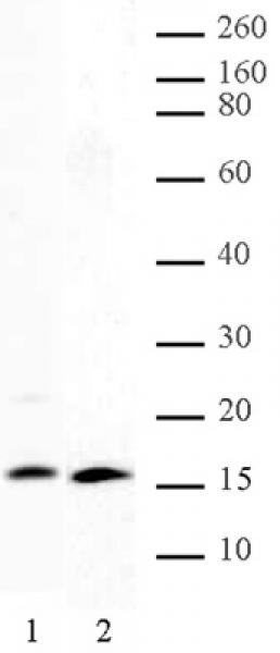 Histone H2A, C-terminal antibody (pAb) tested by Western blot.