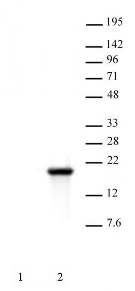 Histone H3S10ph antibody (mAb) tested by Western blot.