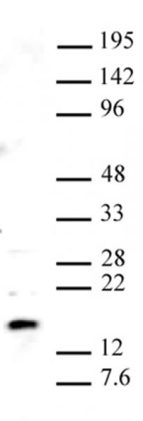 Pht1 / Histone H2A.Z antibody (pAb) tested by Western blot.